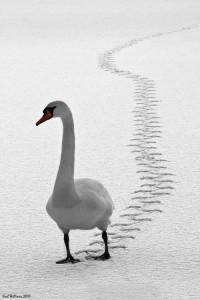 Mute Swan, Loch Ard, Trossachs
