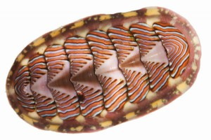 Common Name: lined chiton, Scientific Name: Tonicella lineata, Magnification: 1.2x