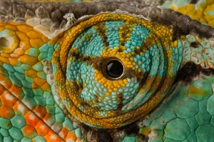 MANDATORY BYLINE: PIC FROM JOEL SARTORE/NAT GEO STOCK/CATERS - (PICTURED: The eye of a Veiled Chameleon.) - What a sight! These are the eye opening images which capture the beauty in the eyes of the animal kingdom. The colourful pictures show the intricate differences and delicate detail of a variety of animal eyes. From the eye of a tiger or a tree frog to the eyes a penguin or a parrotfish, the close up images were taken by a series of photographers who certainly dont have a lack of vision SEE CATERS COPY Pic taken 13/11/2006.